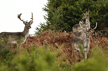 New Forest Deer - Lyndhurst